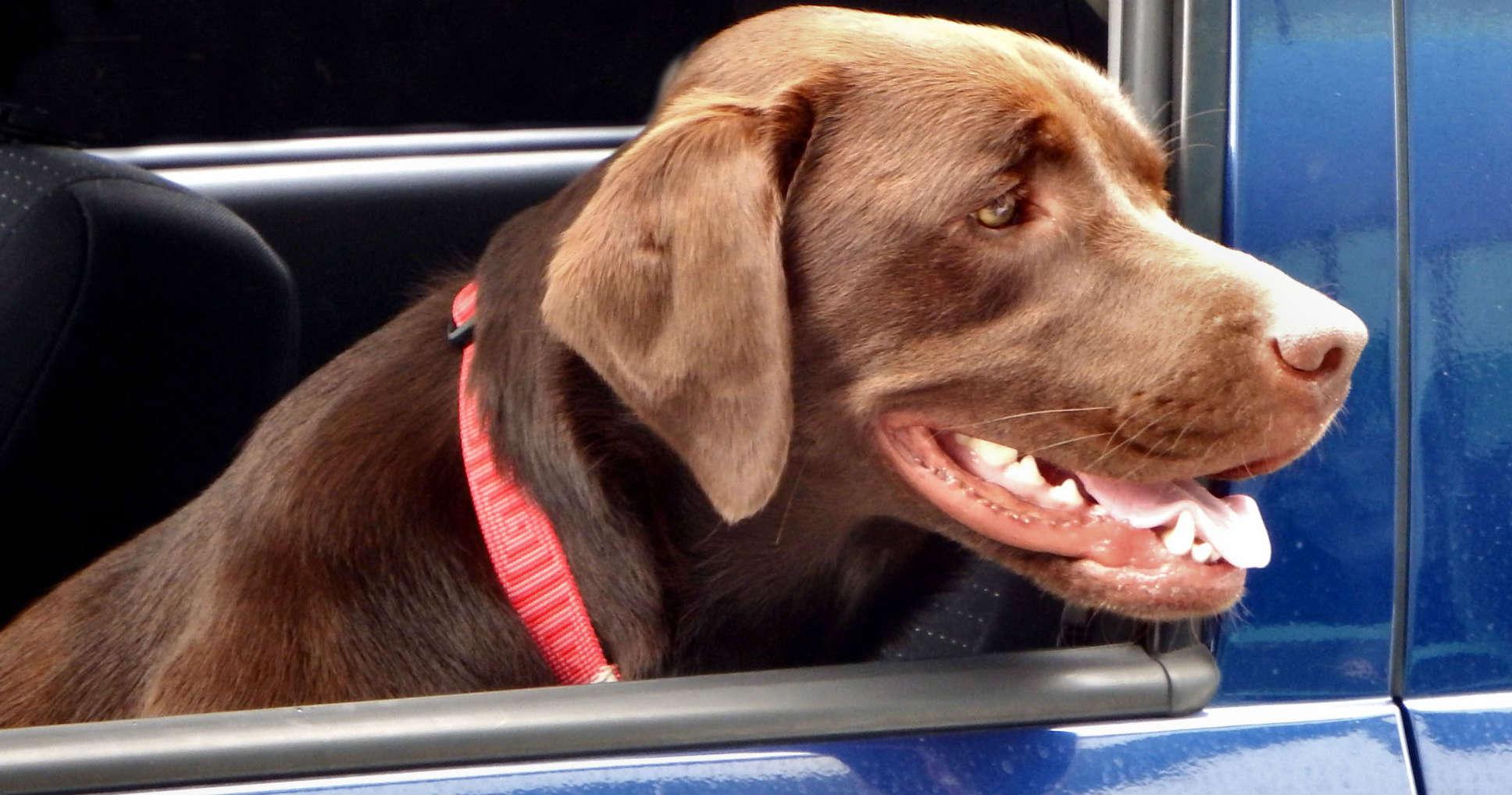 Pies w samochodzie. Fot. rgbstock.com