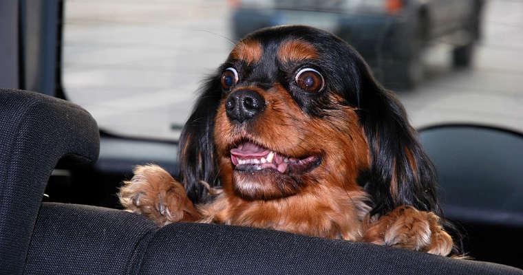 Pies w samochodzie. Fot. Allen Watkin/CC ASA 2.0