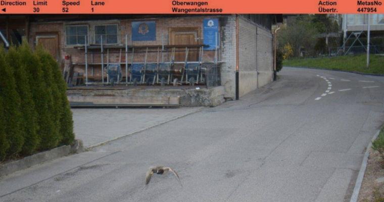 Kaczka przyłapana przez fotoradar w Köniz. Fot. Facebook