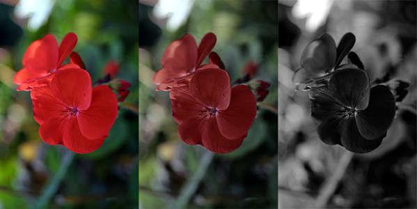 Symulacja efektu Purkiniego - czerwone geranium widziane w sytuacji zmniejszającej się ilości światła. Fot. Lewis Collard/CC BY SA 3.0