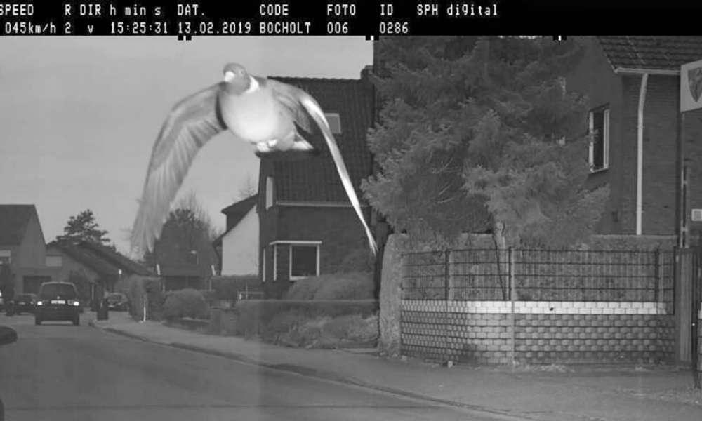 Gołąb zarejestrowany przez fotoradar w niemieckim Bocholt
