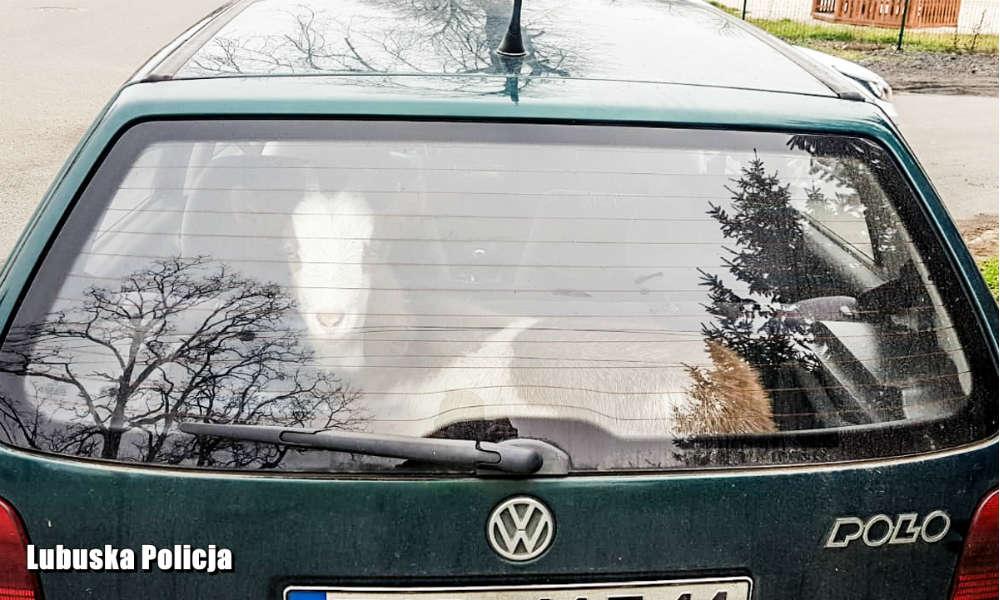 Kierowca na Lubelszczyźnie jechał pijany i wózł kozę w bagażniku osobowego auta. Fot. Policja