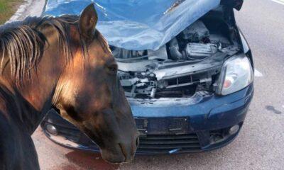 Kierowca osobowego volkswagena zderzył się z koniem